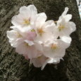 木に生えてる桜