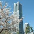 満開の桜とランドマークタワー