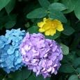 鎌倉 長谷寺の紫陽花
