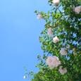 正覚寺の八重咲きムクゲ