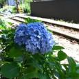 江ノ電線路脇の紫陽花